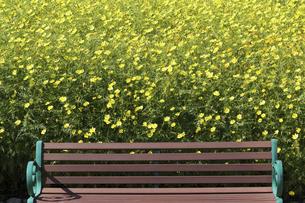 黄色のコスモスの花畑とベンチ の写真素材 [FYI04753604]