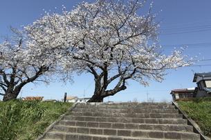 土手の上の桜の写真素材 [FYI04754914]