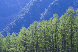 上高地 新緑の落葉松の写真素材 [FYI04759036]