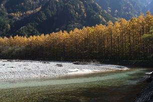 秋の上高地 落葉松林と梓川の流れの写真素材 [FYI04759114]
