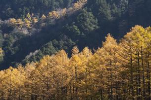 秋の上高地 落葉松林の写真素材 [FYI04759117]