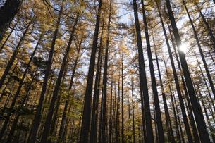 秋の上高地 落葉松林の写真素材 [FYI04759120]