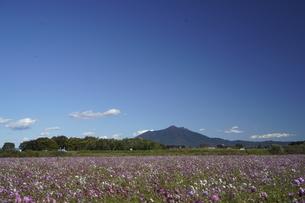 筑波山とコスモスの写真素材 [FYI04759146]