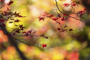 色づく楓の葉の写真素材 [FYI04759400]