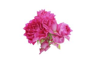 薔薇の花束の写真素材 [FYI04759403]