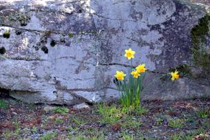 水仙の咲く庭の写真素材 [FYI04759477]