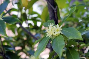 シキミの花の写真素材 [FYI04759479]