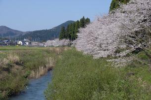 吉野瀬川の桜の写真素材 [FYI04759483]