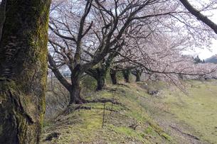 桜咲く田園の写真素材 [FYI04759487]