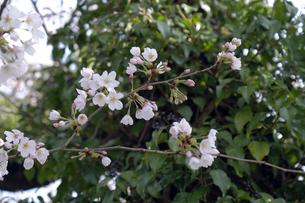 桜の小枝の写真素材 [FYI04759488]