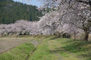桜咲く農道の写真素材 [FYI04759489]