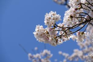 桜の小枝の写真素材 [FYI04759491]