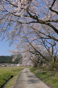 桜咲く農道の写真素材 [FYI04759493]