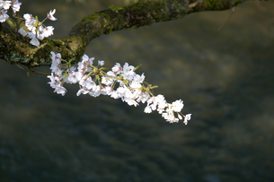 桜の小枝の写真素材 [FYI04759499]
