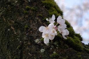 桜の小枝の写真素材 [FYI04759507]