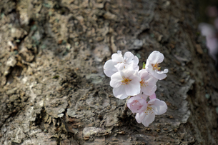 桜の小枝の写真素材 [FYI04759511]