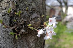 桜の小枝の写真素材 [FYI04759512]
