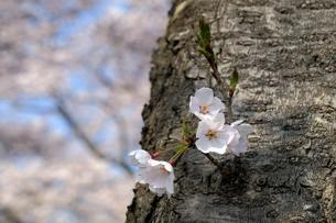 桜の小枝の写真素材 [FYI04759513]