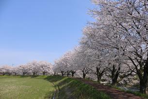 桜咲く田園の写真素材 [FYI04759515]