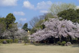 紫式部像と桜の写真素材 [FYI04759516]