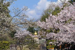紫式部像と桜の写真素材 [FYI04759517]
