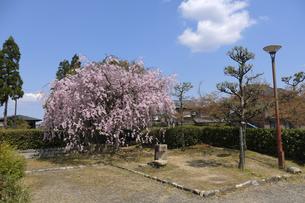 枝垂れ桜の写真素材 [FYI04759527]