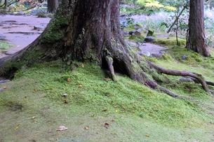苔むす大木の写真素材 [FYI04759633]