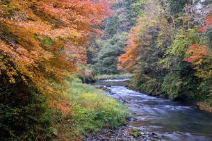 大聖寺川と紅葉の写真素材 [FYI04759642]