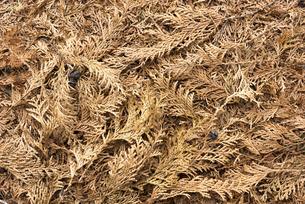 檜の枯葉の写真素材 [FYI04759903]