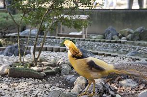 黄金金鶏の写真素材 [FYI04759925]