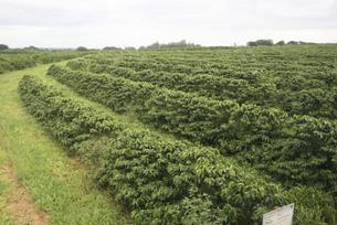 サンパウロ州にあるコーヒー農園 ブラジルの写真素材 [FYI04759963]