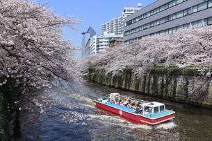 目黒川の桜と遊覧船の写真素材 [FYI04760555]