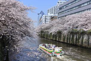目黒川の桜と遊覧船の写真素材 [FYI04760556]