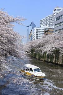 目黒川の桜と遊覧船の写真素材 [FYI04760557]