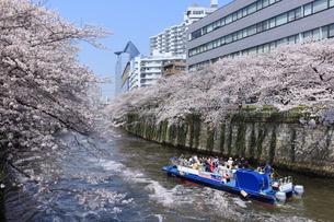 目黒川の桜と遊覧船の写真素材 [FYI04760558]