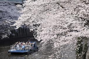 目黒川の桜と遊覧船の写真素材 [FYI04760559]