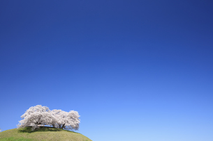 さきたま古墳の桜の写真素材 [FYI04760594]