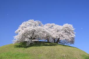 さきたま古墳の桜の写真素材 [FYI04760608]