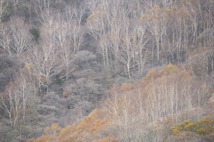 晩秋の白樺林の写真素材 [FYI04760766]
