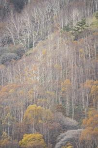 晩秋の白樺林の写真素材 [FYI04760768]