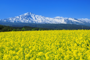 鳥海山と菜の花畑の写真素材 [FYI04760951]
