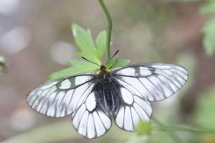 葉の上で休むウスバシロチョウの写真素材 [FYI04761052]
