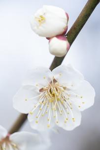 白い梅の花の写真素材 [FYI04761150]