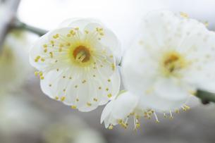 白い梅の花の写真素材 [FYI04761159]