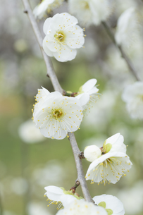 白い梅の花の写真素材 [FYI04761163]