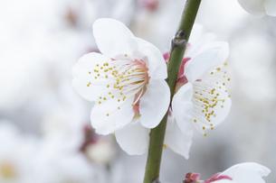 白い梅の花の写真素材 [FYI04761170]