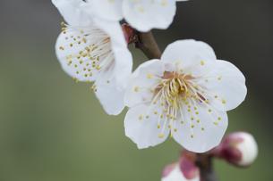 白い梅の花の写真素材 [FYI04761180]