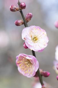 ピンクの梅の花の写真素材 [FYI04761186]