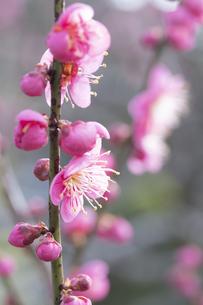 ピンクの梅の花の写真素材 [FYI04761192]