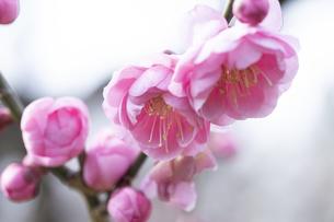 ピンクの梅の花の写真素材 [FYI04761194]